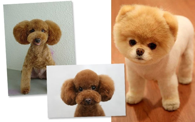 Fluffy dogs that look like teddy bears
