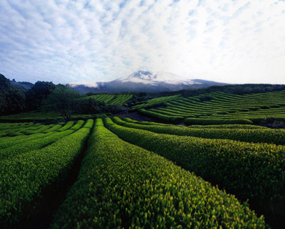 201110 AmorePacific Halla Green Tea Fields